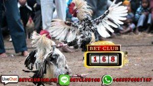 Agen Judi Ayam Taji Bali Terpercaya