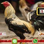 Sabung Ayam Bangkok Live Online
